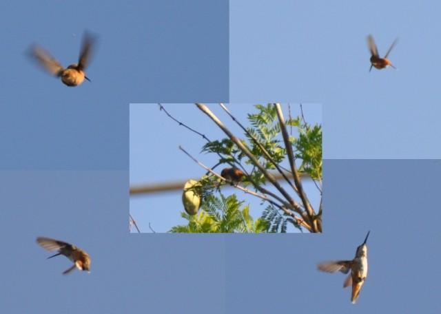 Humming Bird Collage 2