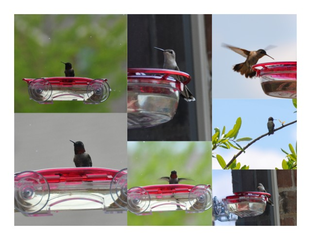 Black-Chinned Hummingbirds Collage